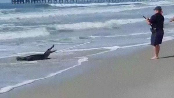 www.dailymail.co.uk 7 Foot Alligator Washes Ashore In California