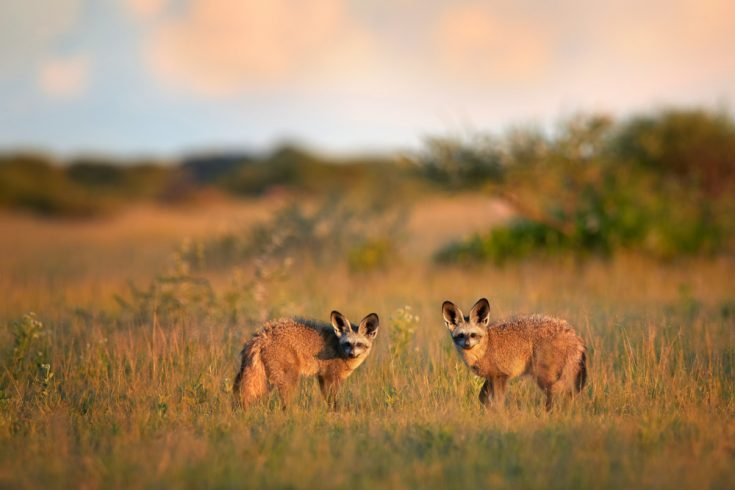 Two bat-eared foxes