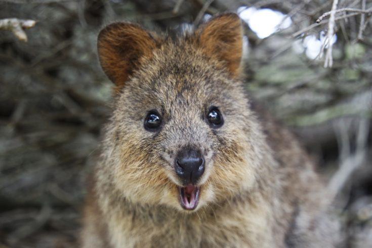 cute face of a brown Quokka