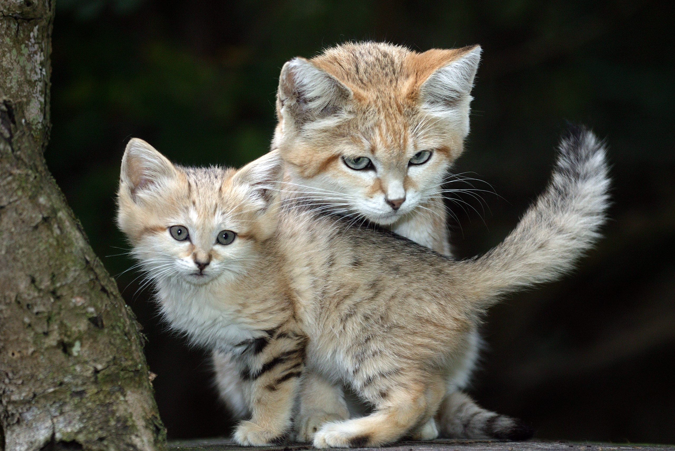 A sand cat mother with her cub
