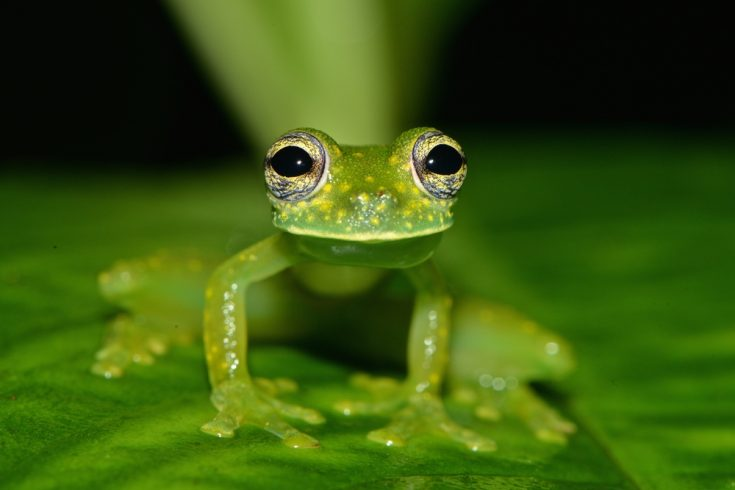 Glass frog sitting on a leaf in Costa Rico