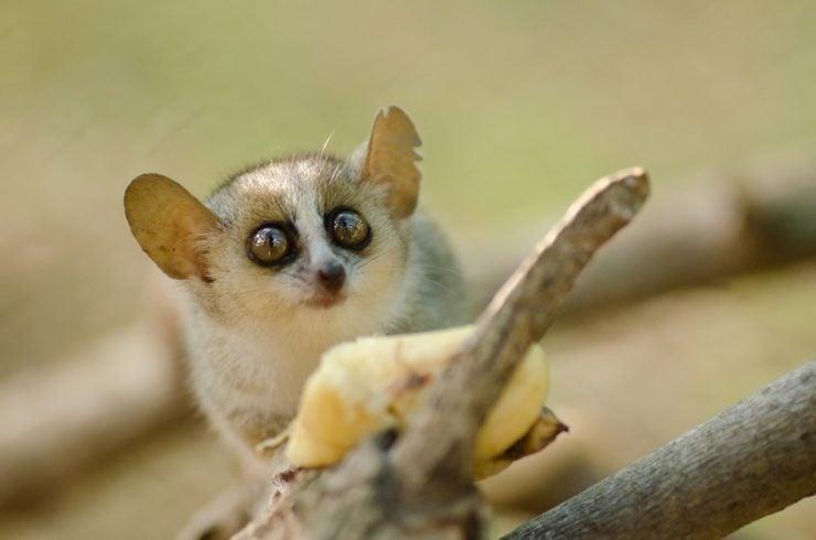 Cute mouse lemur eating banana