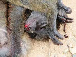 640px-Lemur_poaching_002 animal