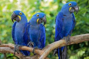 Hyacinth Macaws (Anodorhynchus hyacinthinus) at the Nashville Zoo at Grassmere
