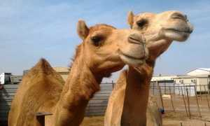 Camels_in_a_small_farm