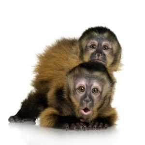 Capuchin-Monkey-infant
