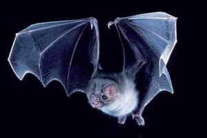 Vampire-Bat-3