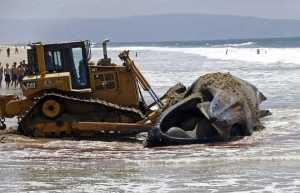 A bulldozer pushes a dead humpback whale that washed ashore at Dockweiler Beach back into the ocean along the Los Angeles coastline on Friday, July 1, 2016. The whale floated in Thursday evening. It is approximately 40 feet long and is believed to have been between 10 to 30 years old. Marine animal authorities will try to determine why the animal died. (AP Photo/Nick Ut)