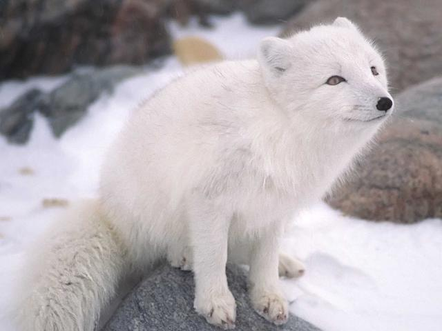 Arctic foxes live — where else? — in the Arctic circle. They can survive in extreme temperatures as low as -58°F, and raise their young in systems of underground burrows that have been used by many generations of foxes. wild animals