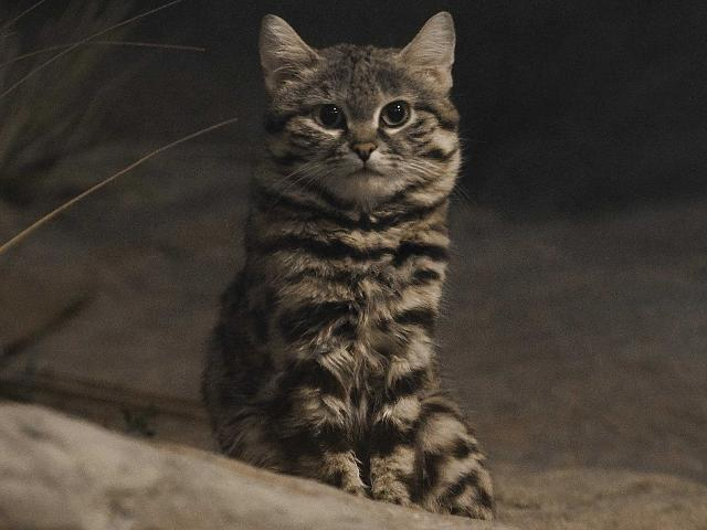 Black-footed cats are the smallest species of wild cat, weighing between 3 and 5 pounds. They live in southern Africa, and are both solitary and strictly nocturnal. The cats can kill as many as 14 small animals in a single night. wild animals