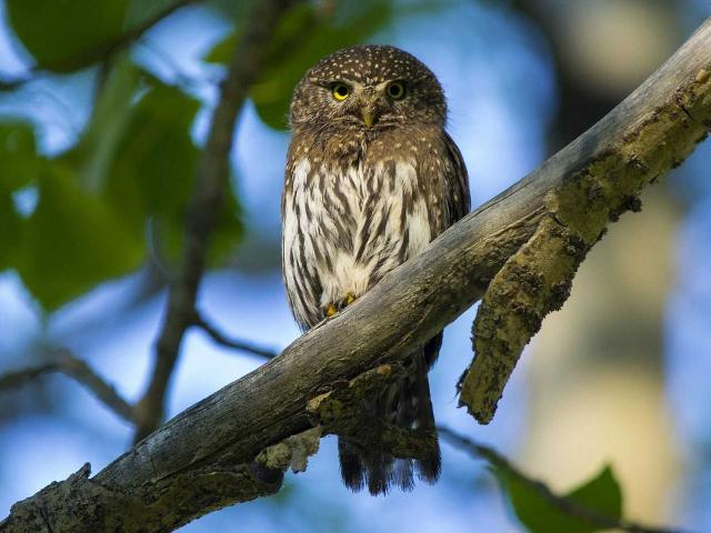 Northern pygmy owls are a mere 2 inches tall when they hatch, and only grow up to 6 inches. They live in North and Central America, and are very hard to spot in the wild due to their size and coloring.