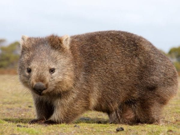 Wombats are a solitary and pudgy nocturnal marsupial. They live in Australia's grasslands and eucalyptus forests in burrows and tunnels that they dig with their claws.