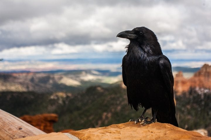 7 Reasons Crows are More Intelligent than We Think