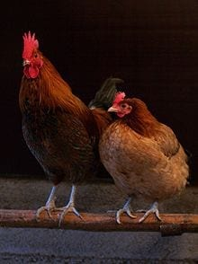 Chicken Hypnotism - All You Need is a Line! 4