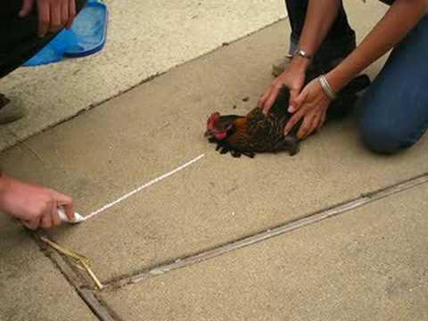 Image result for chicken hypnotism hypnotise a chicken