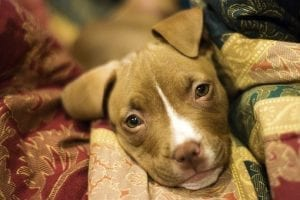 Pitbull Puppies - The Top 10 Amazing Facts 1