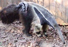 things to know about anteaters