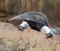 The Top 25 Things to Know about Anteaters 9