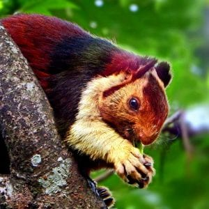 Indian Giant Squirrels -God's Beautiful Creation 2