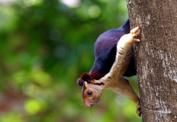 Indian Giant Squirrels -God's Beautiful Creation 1