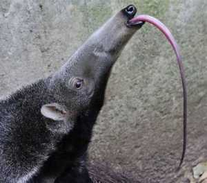 The Top 25 Things to Know about Anteaters 7
