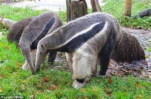 The Top 25 Things to Know about Anteaters 24