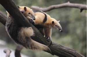 The Top 25 Things to Know about Anteaters 2