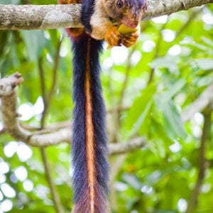 Indian Giant Squirrels -God's Beautiful Creation 3
