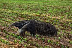 The Top 25 Things to Know about Anteaters 23