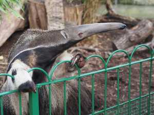 The Top 25 Things to Know about Anteaters 21