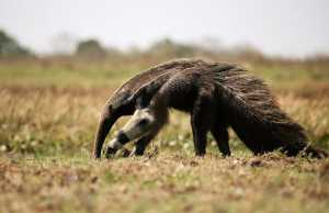 The Top 25 Things to Know about Anteaters 4