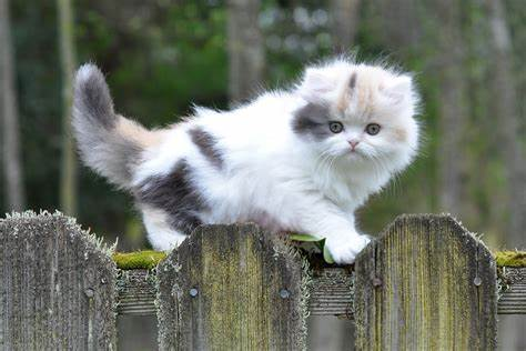 A very cute Munchkin cat, which has originated from breeding two or more different types of cats