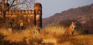 Living treasures : Royal Bengal Tiger, Ranthambore National Park.