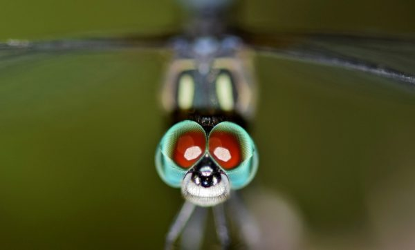 Brilliant Optical Devices of Nature: Jewels in eyes of Insects 5