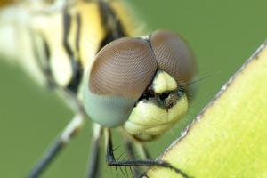 Brilliant Optical Devices of Nature: Jewels in eyes of Insects 10