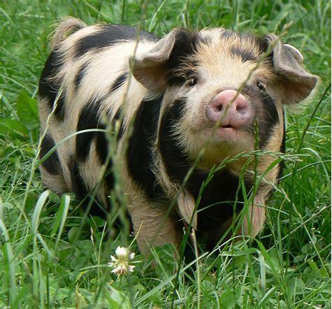 Spotted kunekune pig