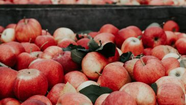 Apple Picking NC : 10 Best Orchards 12