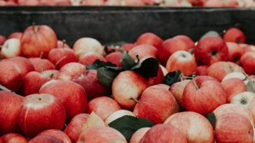 Apple Picking NC : 10 Best Orchards 10