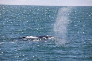 Minke whale diving in the sea