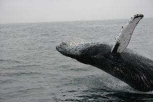 Glimpse of a Finback Whale