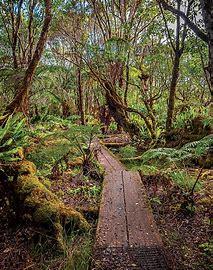 Pihea & Alakai Swamp Trail