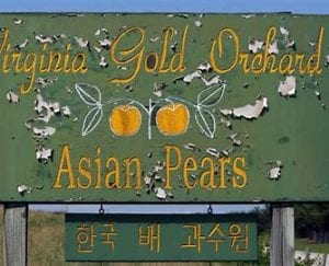 Virginia Gold Orchard Asian Pears