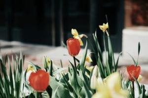 tulip fields Holland