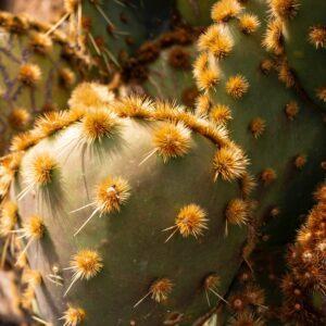 Cactus: Plant with Amazing Benefits 4