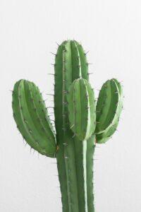 Cactus: Plant with Amazing Benefits 1