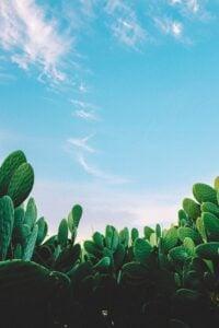 Cactus: Plant with Amazing Benefits 7