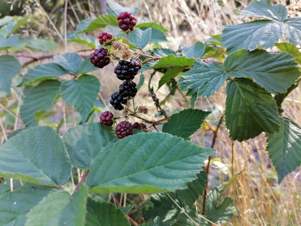 loganberries whidbey island
