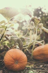 Lewin Farm for U-Pick Pumpkins