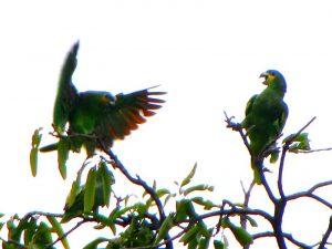 orange winged parrots